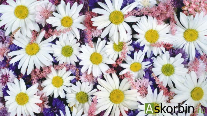 ромашки цветы 50,0, фото 1