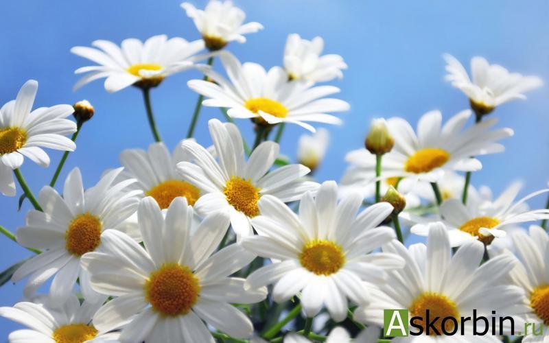 ромашки цветы 50,0, фото 2