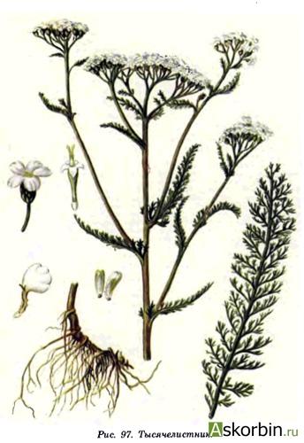 тысячелистника трава 1,5 20 ф/п, фото 3