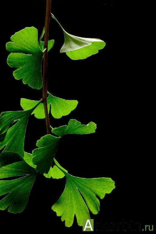 гинкго билоба лист 25,0., фото 1