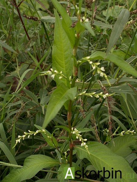 горец перечный трава 50,0, фото 1