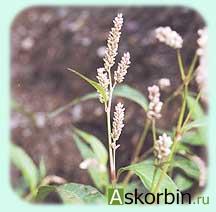 горец перечный трава 50,0, фото 3