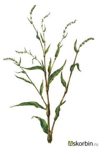горец перечный трава 50,0, фото 2